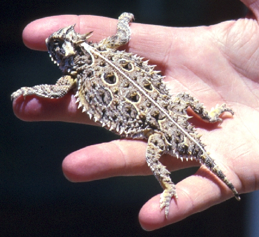 Real Horned Frog